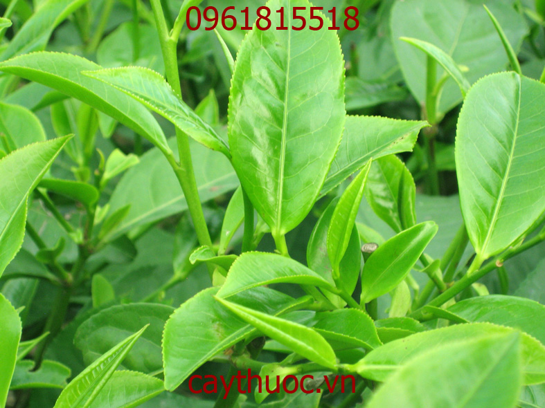 cây trà xanh