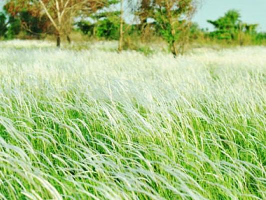 cây cỏ may