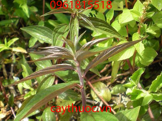 cây thuốc dòi tím
