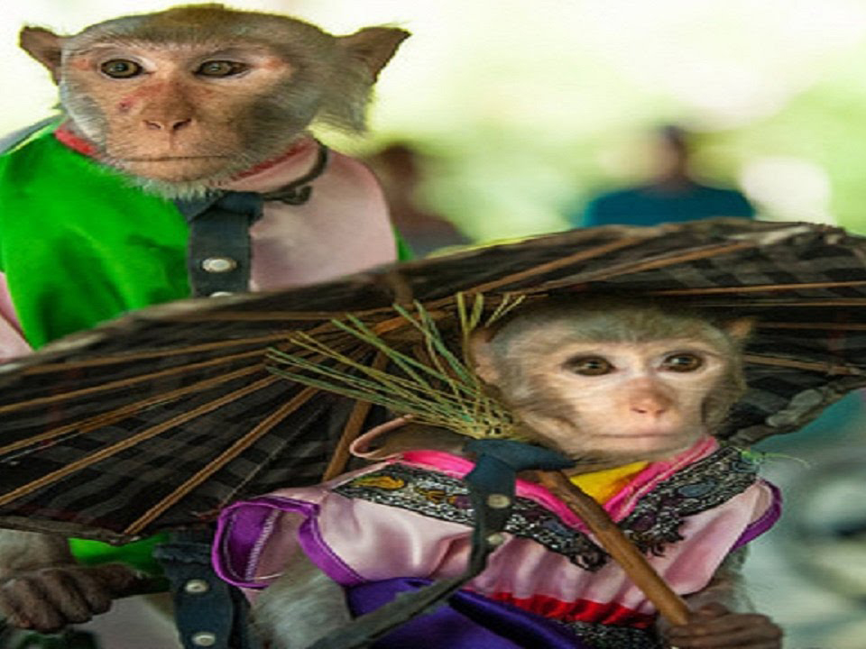 cao khỉ