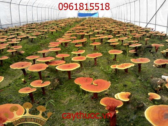 nấm linh chi trồng