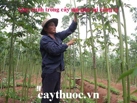 trồng cây mủ gòn