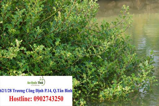 cây ô rô nước