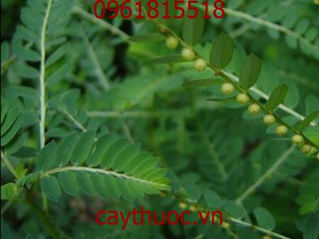cây diệp hạ châu