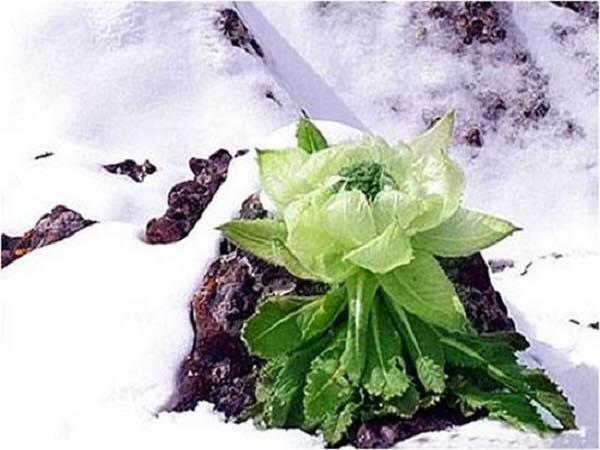 hoa sen tuyết