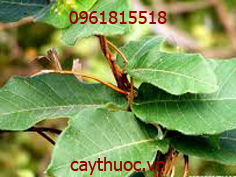 cây hà thủ ô