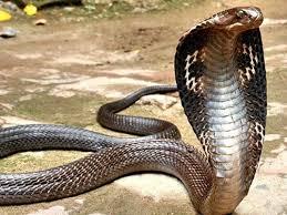 rắn hổ mang