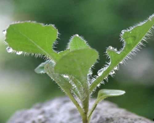 lá cây cải trời