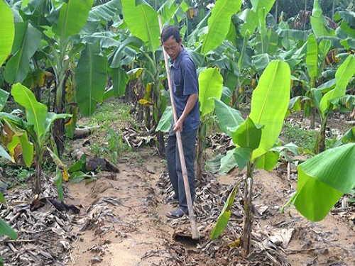 trồng cây chuối hột rừng