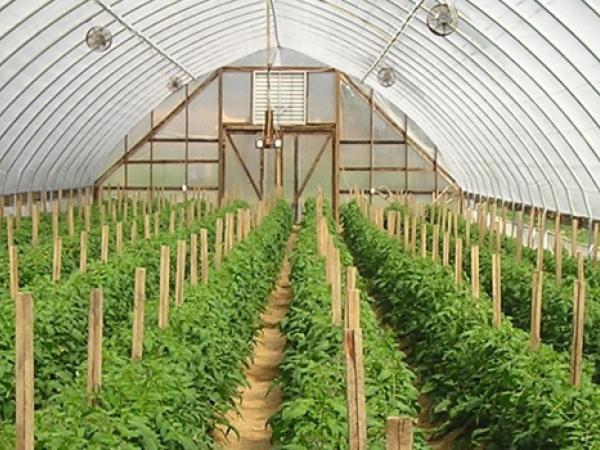 Quy trình trồng cây đậu đen xanh lòng