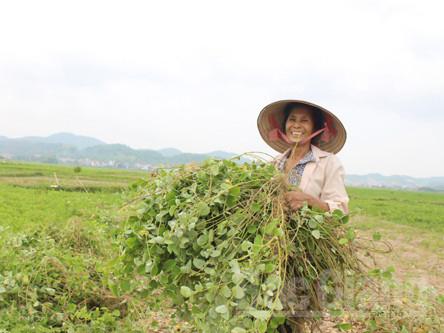 trồng kim tiền thảo