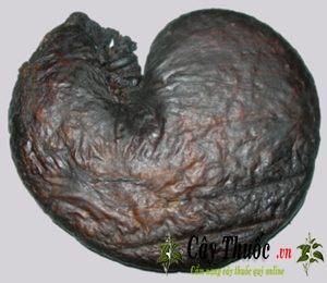 Bao tử nhím (dạ dày nhím) chữa đau dạ dày, cách ngâm rươu trị bệnh