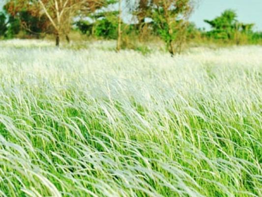 Cây cỏ may chữa được bệnh gì? Mọc ở đâu? Mua ở đâu tốt?