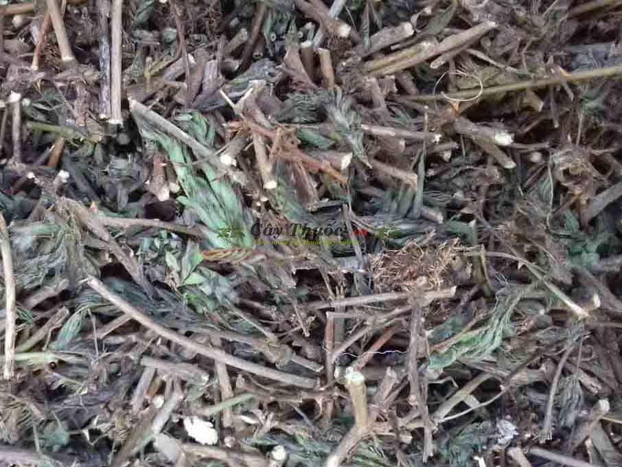 Cây cỏ ngươi là dược liệu gì?Tác dụng, cách dùng chữa thoát vị đĩa đệm