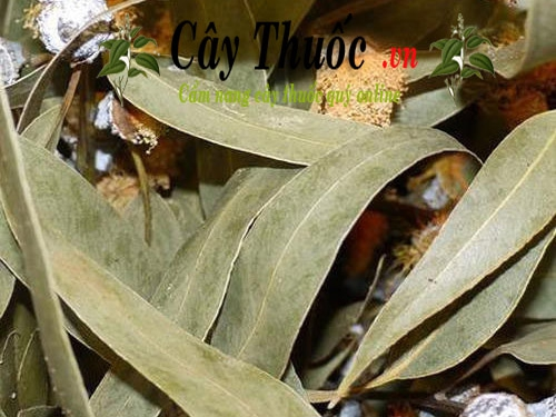 Lá bạch đàn có tác dụng chữa bệnh gì? Công dụng của lá cây bạch đàn