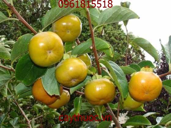 Lá hồng rừng (cây hồng rừng) có tác dụng giải độc gan hữu hiệu.