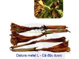 Cà độc dược chữa bệnh gì? Hoa cây cà độc dược chữa bệnh viêm xoang.