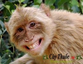 Cao khỉ có phải là thần dược chữa được bách bệnh