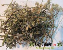 Cỏ bạc dầu và 10 tác dụng chữa bệnh thần kỳ của cây cỏ bạc đầu.