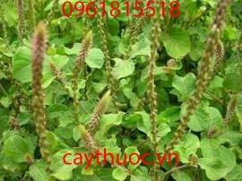 Cỏ xước và 8 tác dụng chữa bệnh của cỏ xước