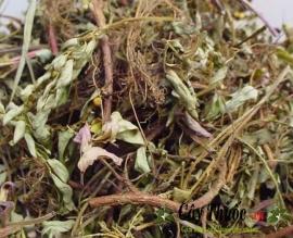 Diệp hạ châu có tác dụng gì? Uống trà cây diệp hạ châu trị bệnh gan.