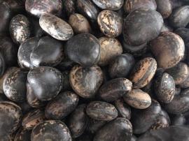 Hạt đậu lào: Hình ảnh, tác dụng và cách sử dụng hút nọc độc do rắn cắn