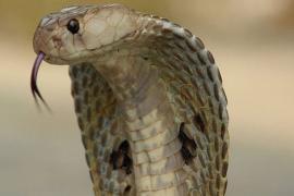 Tìm hiểu về tác dụng và ứng dụng lâm sàng của rắn hổ mang