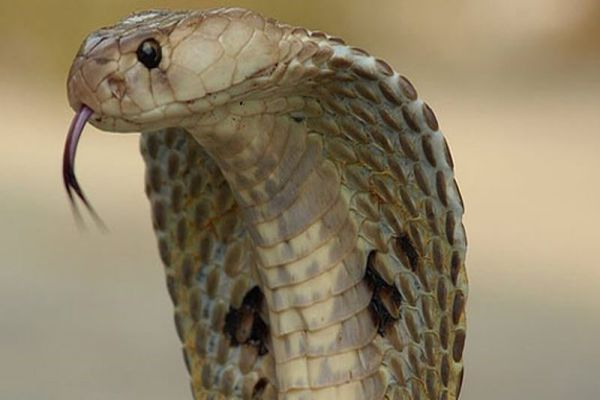 Mật rắn hổ mang có tác dụng gì? Cách ngâm rượu rắn hổ mang. Lưu ý dùng