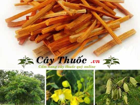 Tô mộc (cây vang đỏ): Tác dụng và cách dùng chữa bệnh của cây tô mộc.
